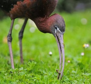 Glossy Ibis, Sharjah