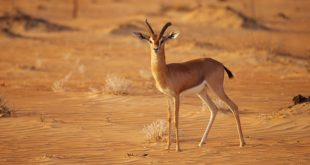 Arabian mountain gazelle